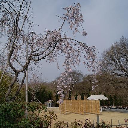 しだれ桜(2011年)