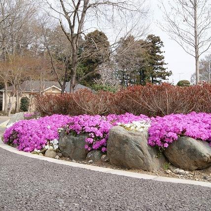 通路脇の芝桜(2011年)