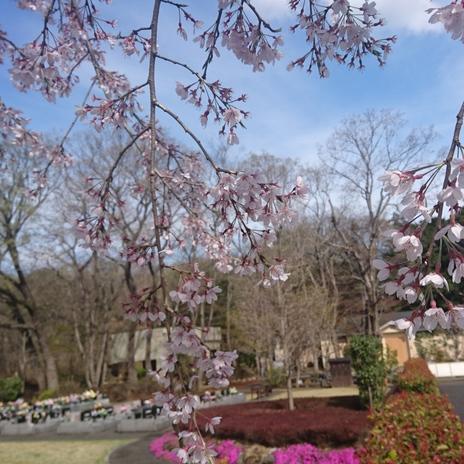 桜(2017年)